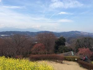 吾妻山公園の山頂から見た菜の花と富士山。二宮に来るときの楽しみです